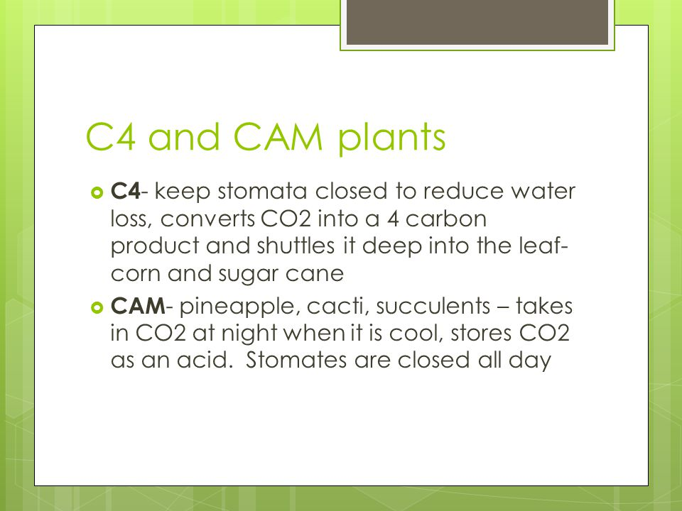C4 and CAM plants  C4 - keep stomata closed to reduce water loss, converts CO2 into a 4 carbon product and shuttles it deep into the leaf- corn and s