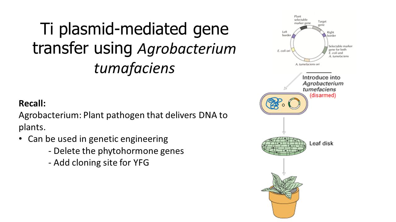 Ti plasmid-mediated gene transfer using Agrobacterium tumafaciens Recall: Agrobacterium: Plant pathogen that delivers DNA to plants.