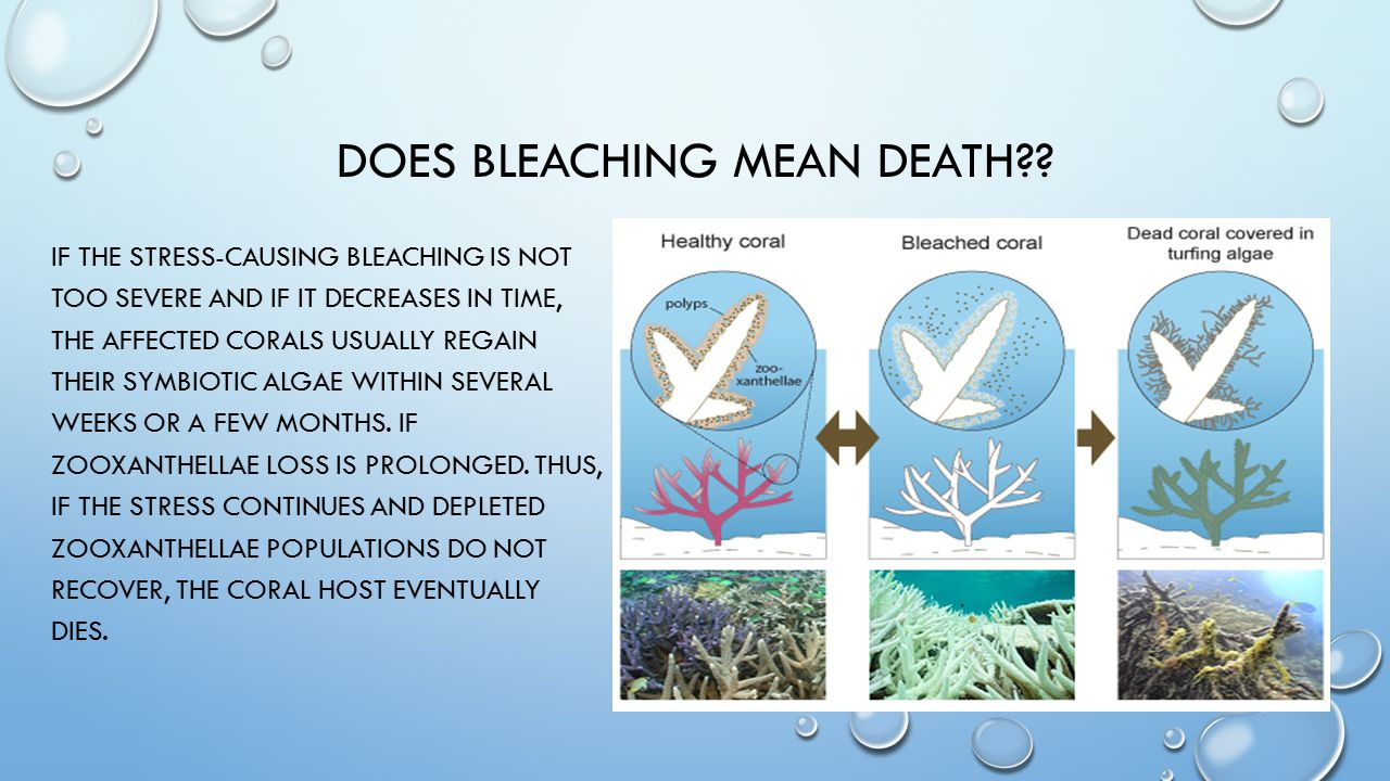 DOES BLEACHING MEAN DEATH?? IF THE STRESS-CAUSING BLEACHING IS NOT TOO SEVERE AND IF IT DECREASES IN TIME, THE AFFECTED CORALS USUALLY REGAIN THEIR SY