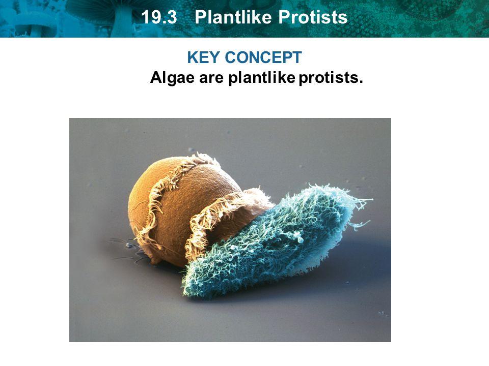 19.3 Plantlike Protists KEY CONCEPT Algae are plantlike protists.