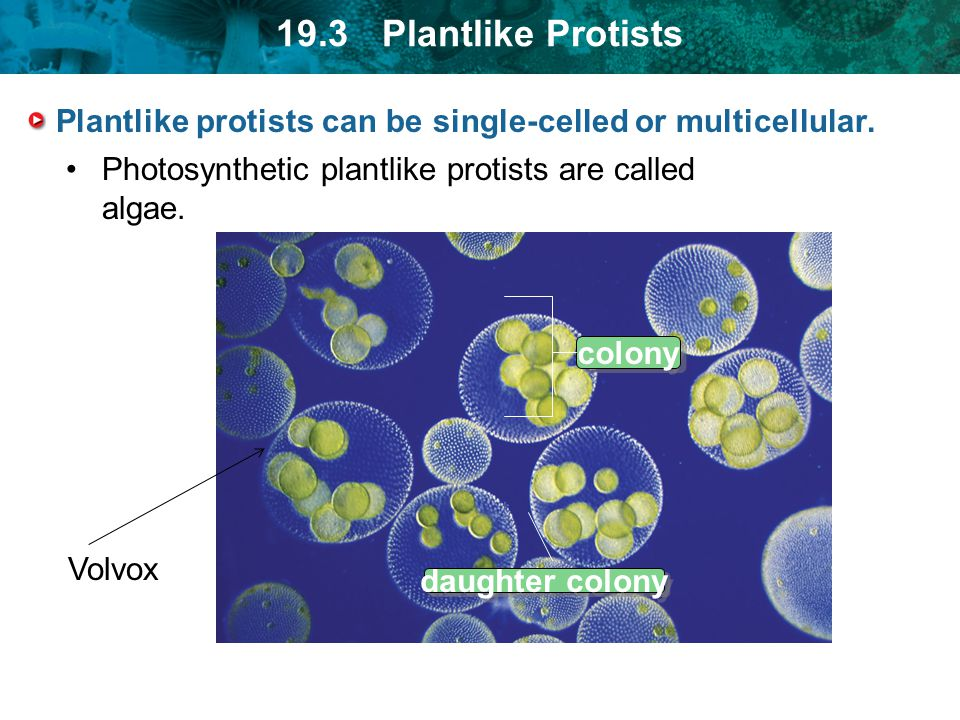19.3 Plantlike Protists Plantlike protists can be single-celled or multicellular. Photosynthetic plantlike protists are called algae. colony daughter