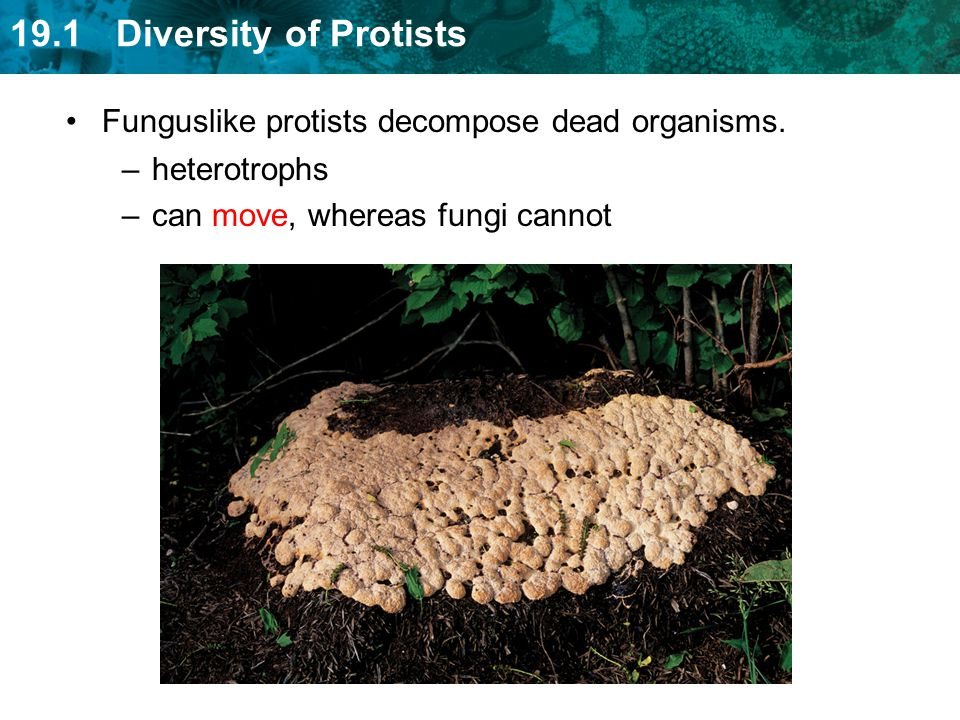 19.1 Diversity of Protists Funguslike protists decompose dead organisms. –heterotrophs –can move, whereas fungi cannot