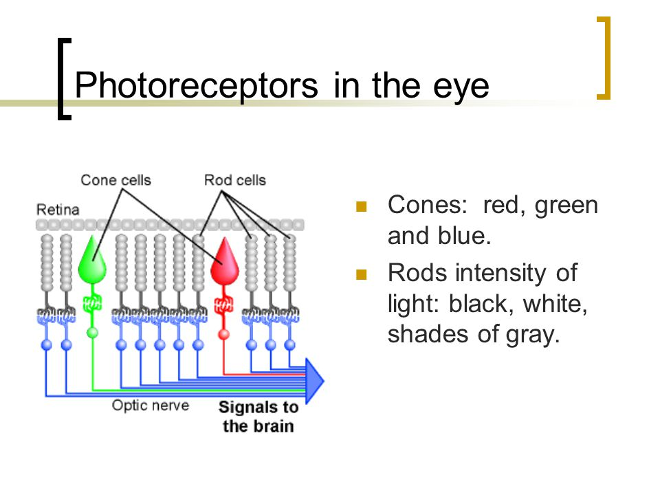 Photoreceptors in the eye Cones: red, green and blue.