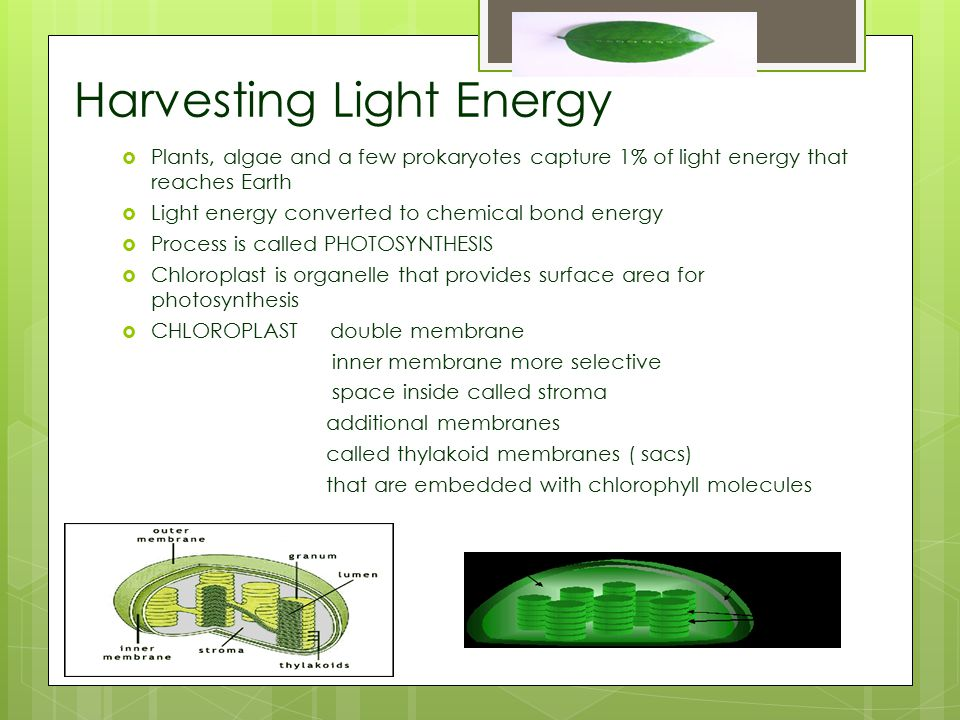 Harvesting Light Energy  Plants, algae and a few prokaryotes capture 1% of light energy that reaches Earth  Light energy converted to chemical bond energy  Process is called PHOTOSYNTHESIS  Chloroplast is organelle that provides surface area for photosynthesis  CHLOROPLAST double membrane inner membrane more selective space inside called stroma additional membranes called thylakoid membranes ( sacs) that are embedded with chlorophyll molecules
