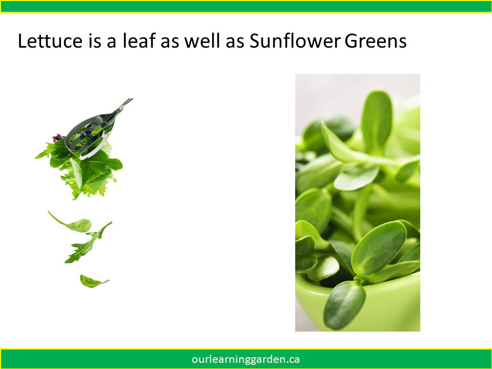 Lettuce is a leaf as well as Sunflower Greens