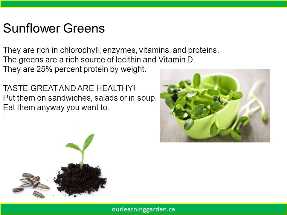 Sunflower Greens They are rich in chlorophyll, enzymes, vitamins, and proteins.