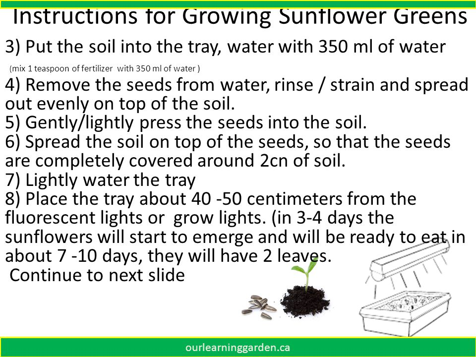 Instructions for Growing Sunflower Greens 3) Put the soil into the tray, water with 350 ml of water ( mix 1 teaspoon of fertilizer with 350 ml of water ) 4) Remove the seeds from water, rinse / strain and spread out evenly on top of the soil.