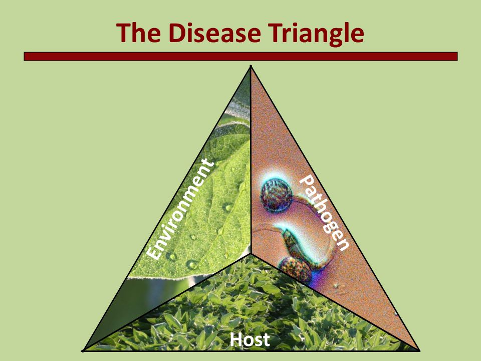 Secondary cycles Some diseases have only one cycle during the growing season (often root rots) Some diseases develop secondary or repeating cycles during the growing season (often foliar diseases) Number of cycles depends on the pathogen, susceptibility of the host, and environmental conditions