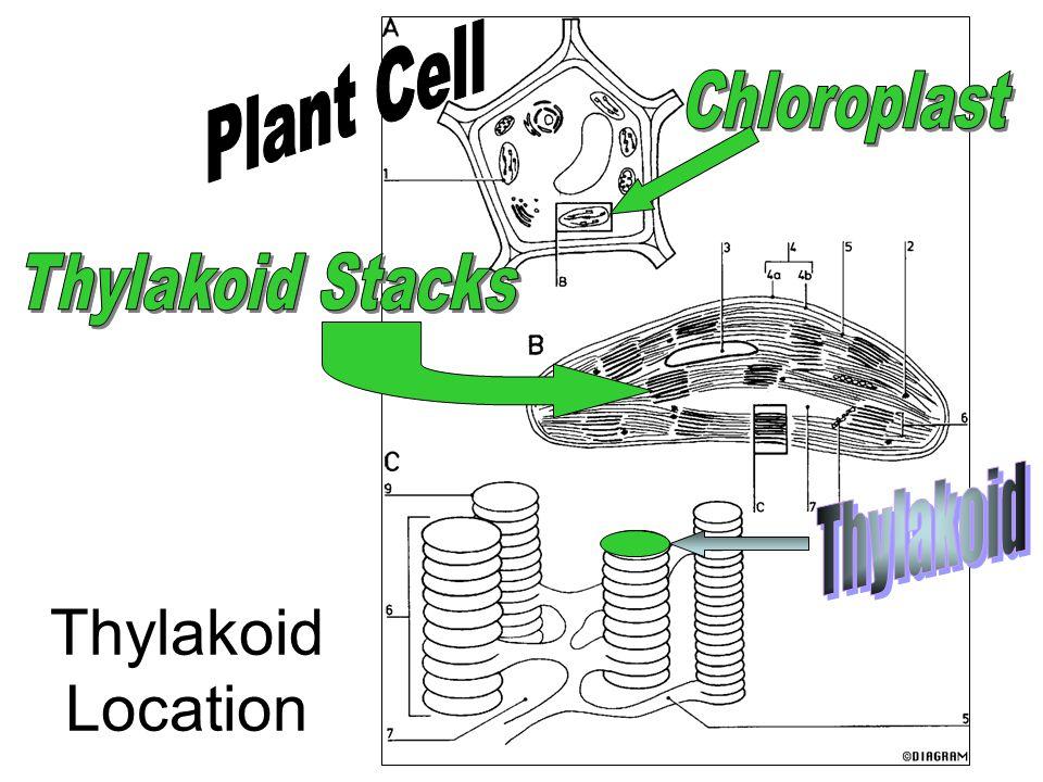 Thylakoid Location