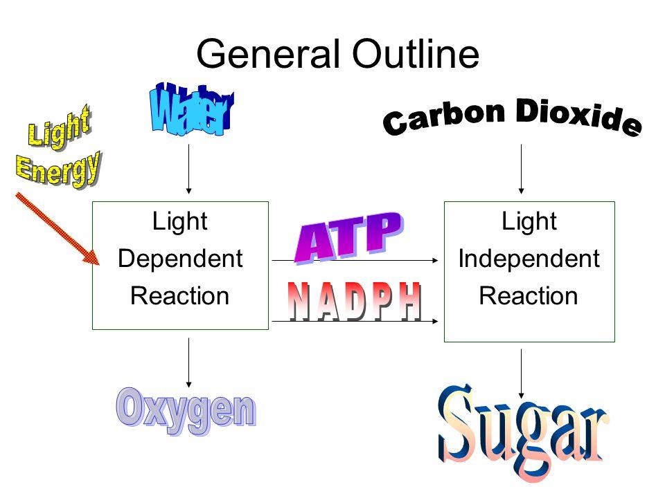General Outline Light Dependent Reaction Light Independent Reaction