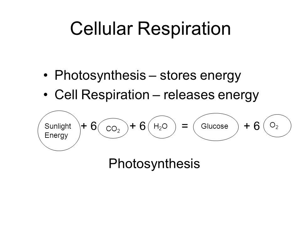 Cellular Respiration Photosynthesis – stores energy Cell Respiration – releases energy + 6 + 6 = + 6 Sunlight Energy CO 2 H2OH2OGlucose O2O2 Photosynt