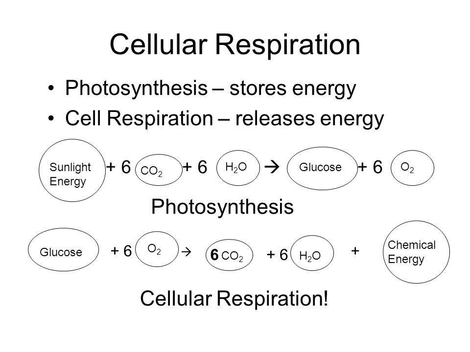 Cellular Respiration Photosynthesis – stores energy Cell Respiration – releases energy + 6 + 6  + 6 Sunlight Energy CO 2 H2OH2O Glucose O2O2 Photosyn