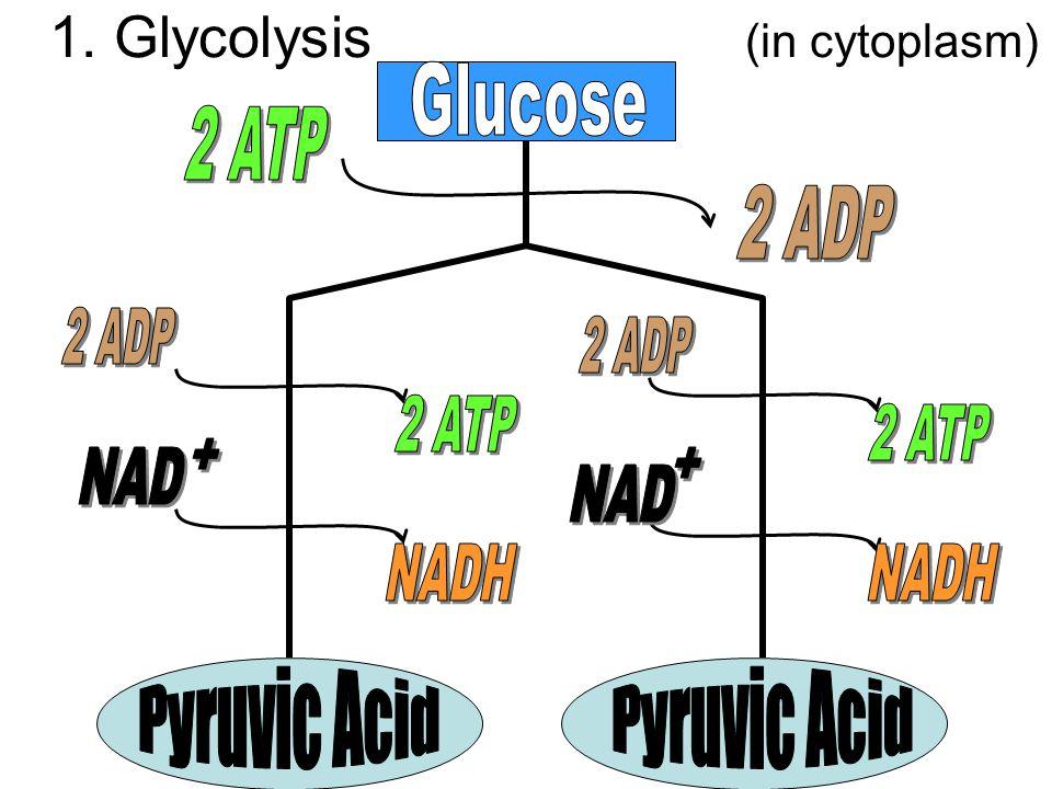 1. Glycolysis (in cytoplasm)