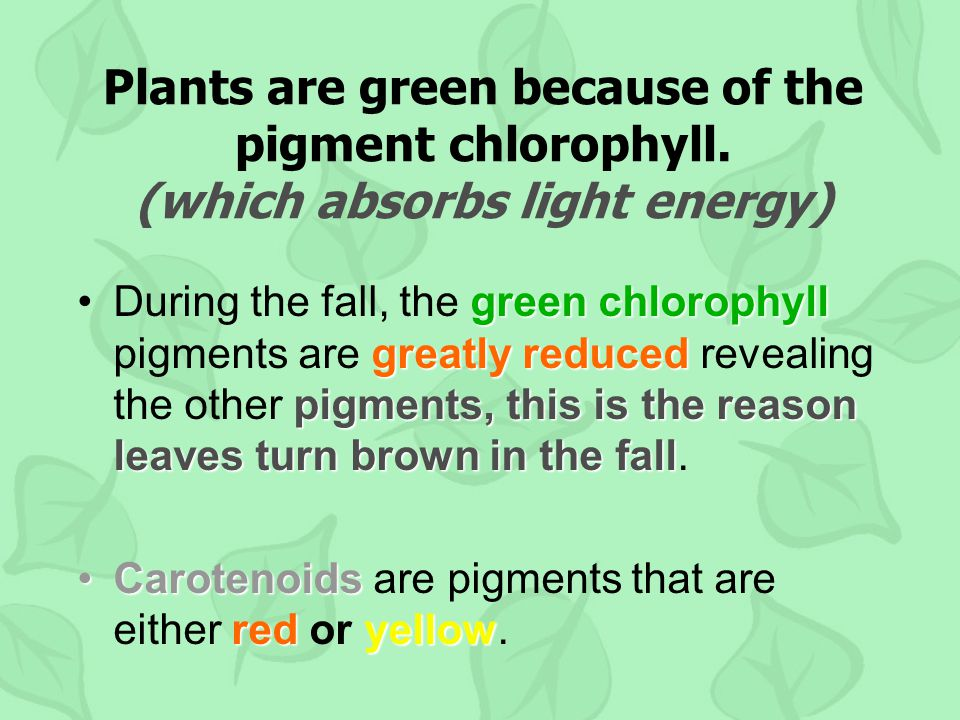 Plants are green because of the pigment chlorophyll.