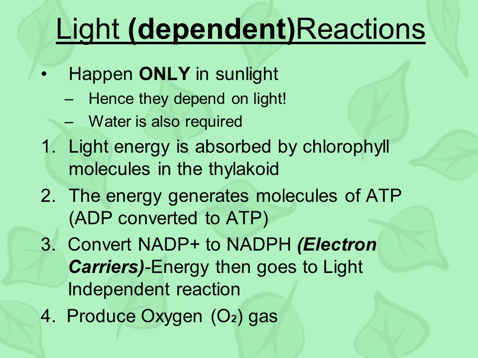 Light (dependent)Reactions Happen ONLY in sunlight –Hence they depend on light! –Water is also required 1.Light energy is absorbed by chlorophyll mole