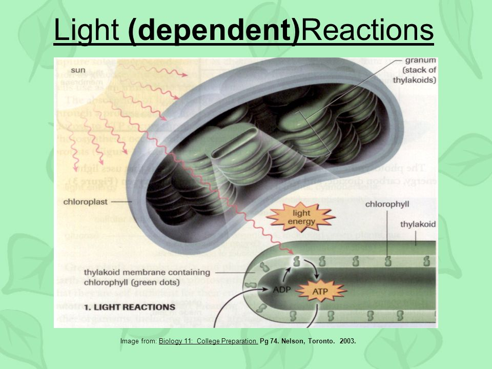 Light (dependent)Reactions Image from: Biology 11: College Preparation.