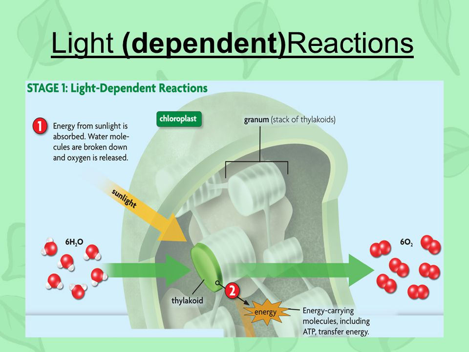 Light (dependent)Reactions