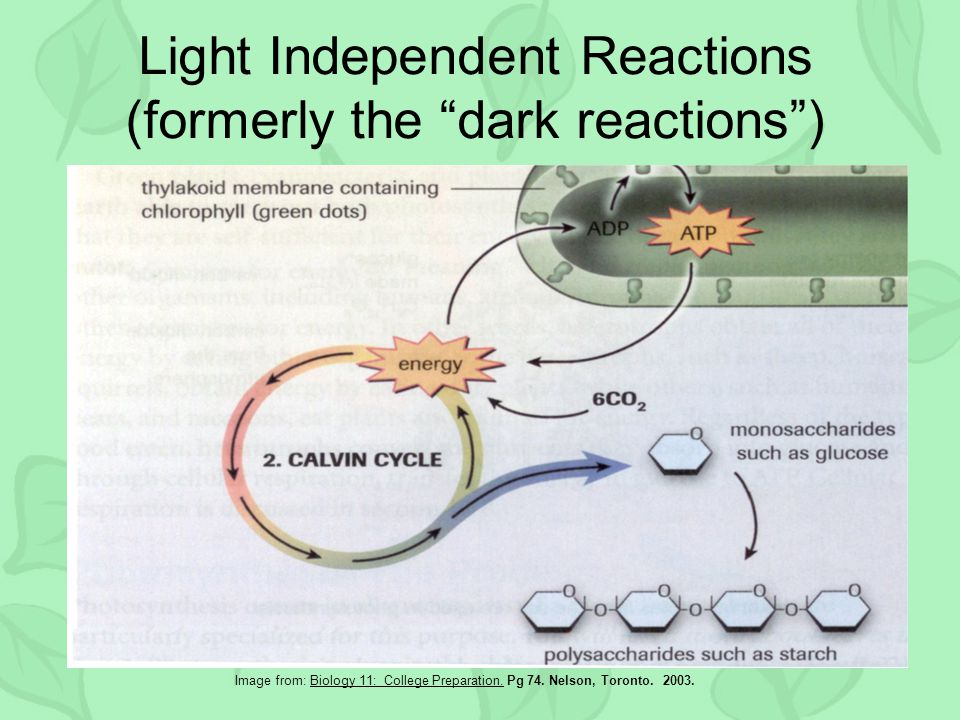 Light Independent Reactions (formerly the dark reactions ) Image from: Biology 11: College Preparation.