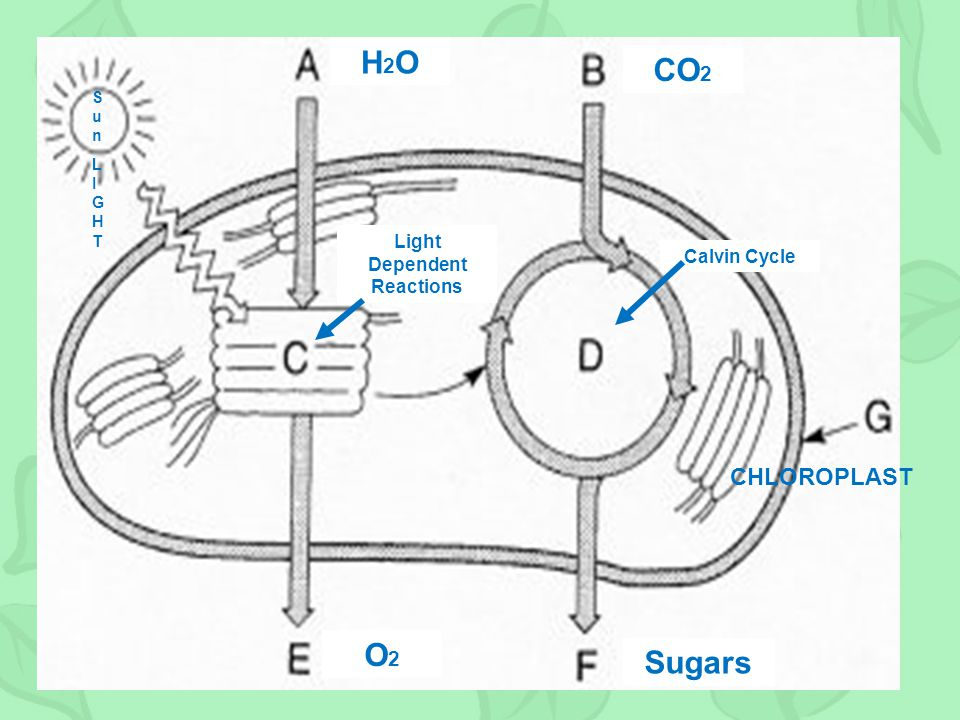 SunLIGHTSunLIGHT H2OH2O CO 2 Light Dependent Reactions Calvin Cycle CHLOROPLAST Sugars O2O2