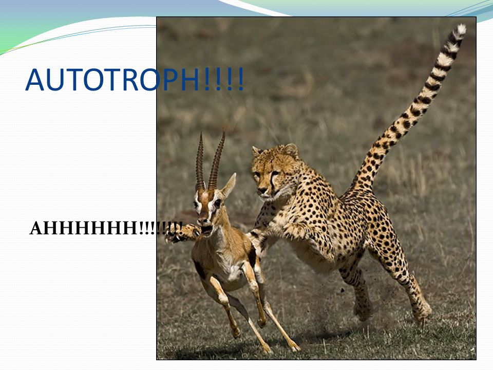 Heterotrophs Obtain energy from the foods they consume Cheetah: obtains energy stored in autotrophs indirectly by feeding on animals that eat autotrophs