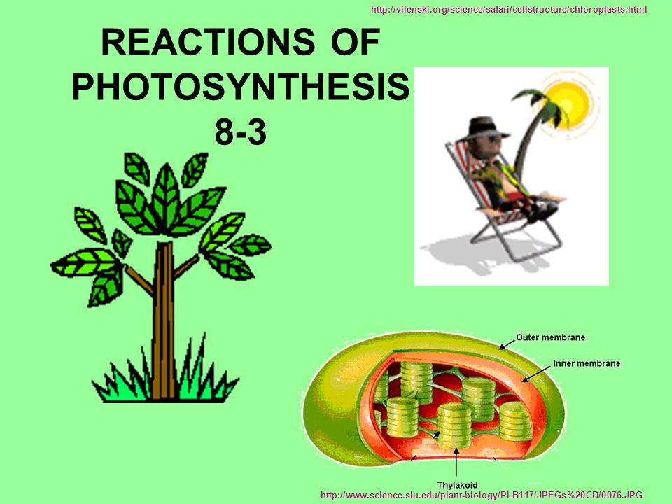 REACTIONS OF PHOTOSYNTHESIS 8-3 http://www.science.siu.edu/plant-biology/PLB117/JPEGs%20CD/0076.JPG http://vilenski.org/science/safari/cellstructure/c
