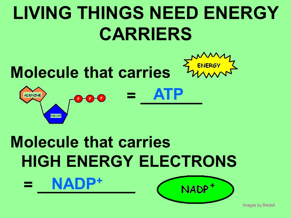 LIVING THINGS NEED ENERGY CARRIERS Molecule that carries = _______ Molecule that carries HIGH ENERGY ELECTRONS = ___________ ATP NADP + Images by Ried