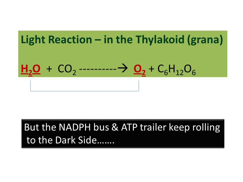 Light Reaction – in the Thylakoid (grana) H 2 O + CO 2 ----------  O 2 + C 6 H 12 O 6 But the NADPH bus & ATP trailer keep rolling to the Dark Side……