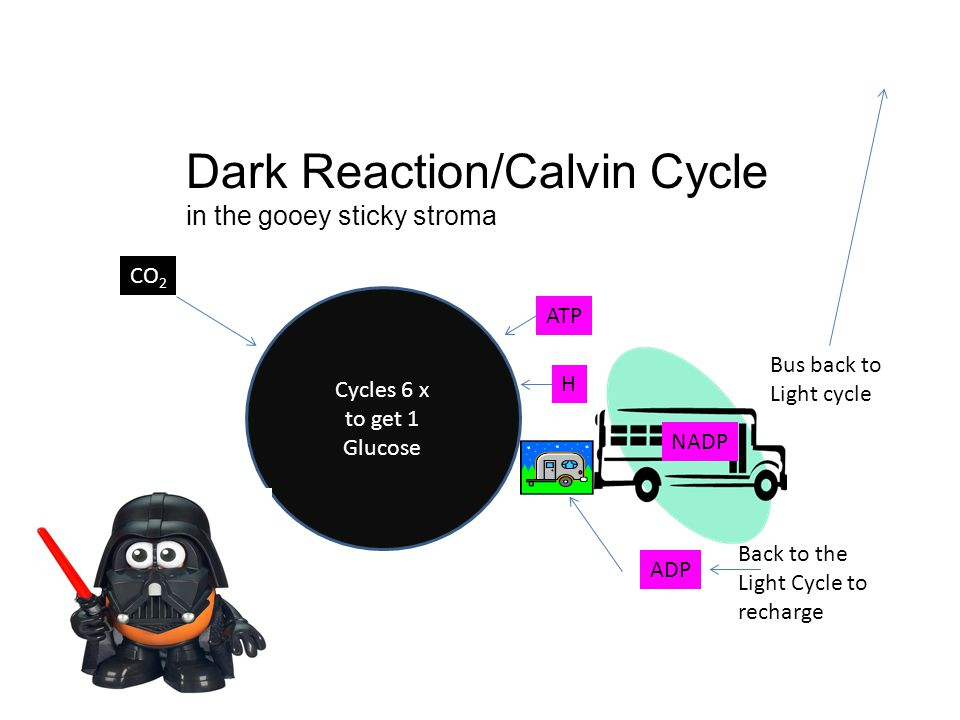 Dark Reaction/Calvin Cycle in the gooey sticky stroma Cycles 6 x to get 1 Glucose H NADP ATP ADP Back to the Light Cycle to recharge Bus back to Light