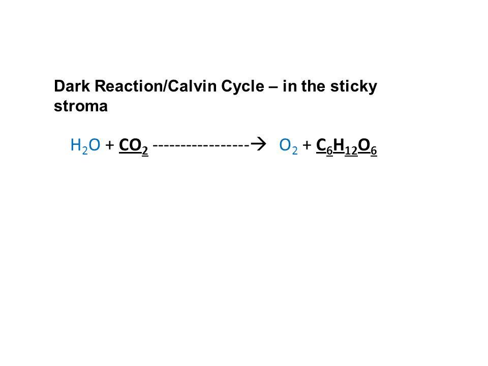 Dark Reaction/Calvin Cycle – in the sticky stroma H 2 O + CO 2 -----------------  O 2 + C 6 H 12 O 6