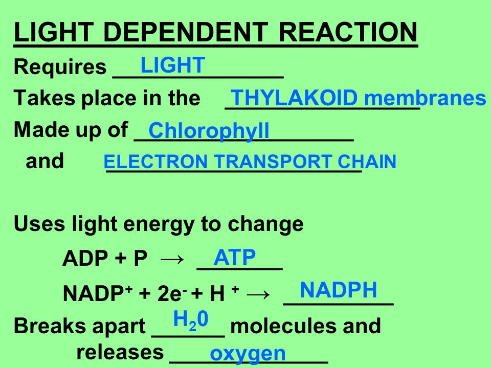 LIGHT DEPENDENT REACTION Requires ______________ Takes place in the ________________ Made up of __________________ and _____________________ Uses ligh