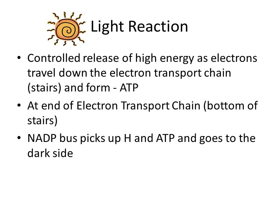 Light Reaction Controlled release of high energy as electrons travel down the electron transport chain (stairs) and form - ATP At end of Electron Tran
