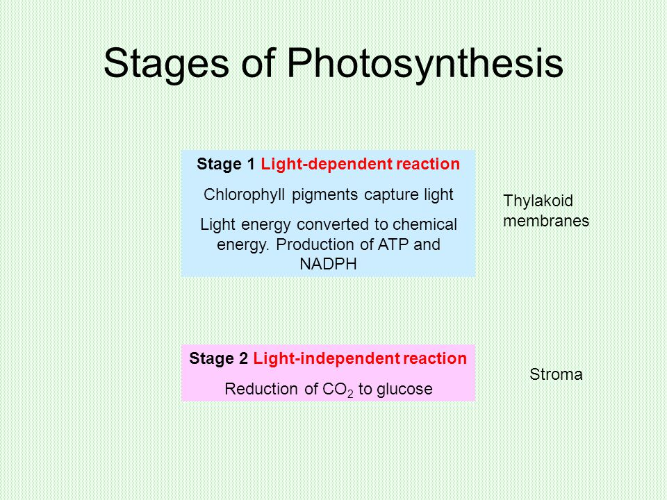 Stages of Photosynthesis Stage 1 Light-dependent reaction Chlorophyll pigments capture light Light energy converted to chemical energy.