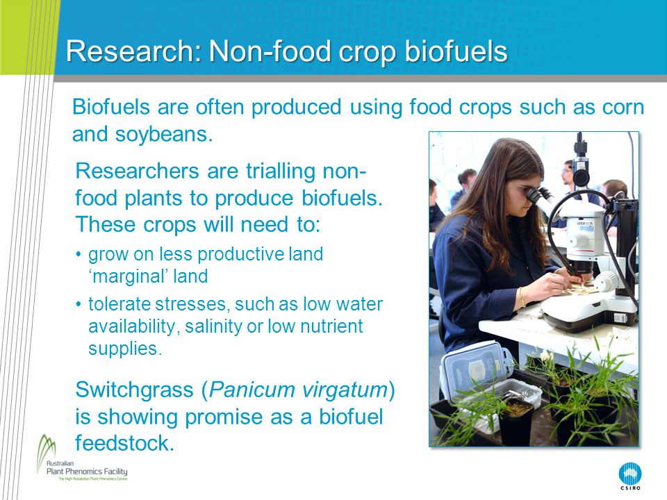 Research: Non-food crop biofuels Biofuels are often produced using food crops such as corn and soybeans. Researchers are trialling non- food plants to