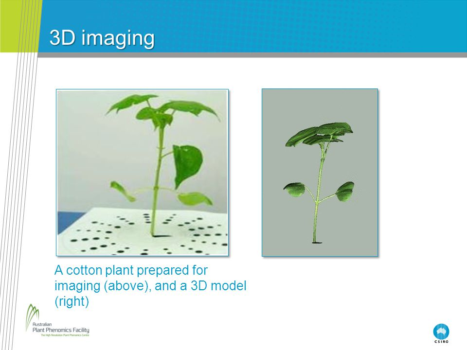 3D imaging A cotton plant prepared for imaging (above), and a 3D model (right)