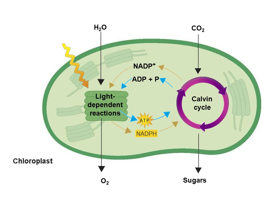 H2OH2O O2O2 CO 2 Sugars NADP + ADP + P Light- dependent reactions Calvin cycle