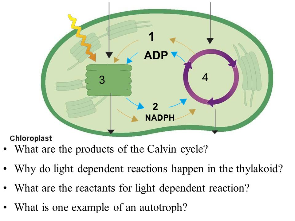 1 ADP NADPH 2 3 4 What are the products of the Calvin cycle? Why do light dependent reactions happen in the thylakoid? What are the reactants for ligh