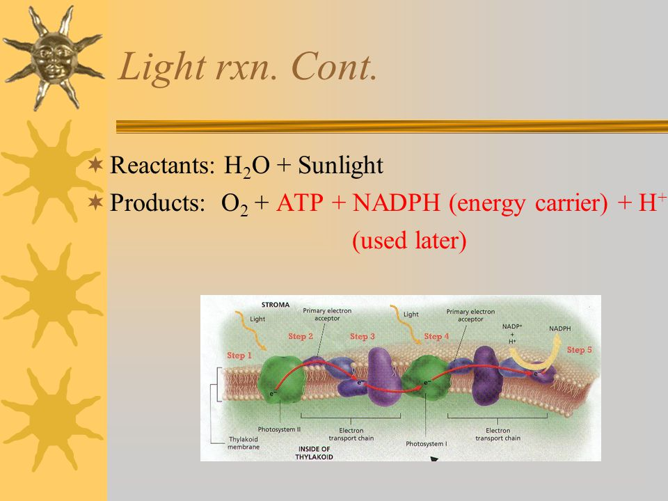 Light rxn. Cont.  Reactants: H 2 O + Sunlight  Products: O 2 + ATP + NADPH (energy carrier) + H + (used later)
