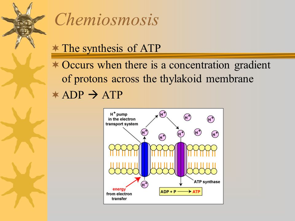 Chemiosmosis  The synthesis of ATP  Occurs when there is a concentration gradient of protons across the thylakoid membrane  ADP  ATP