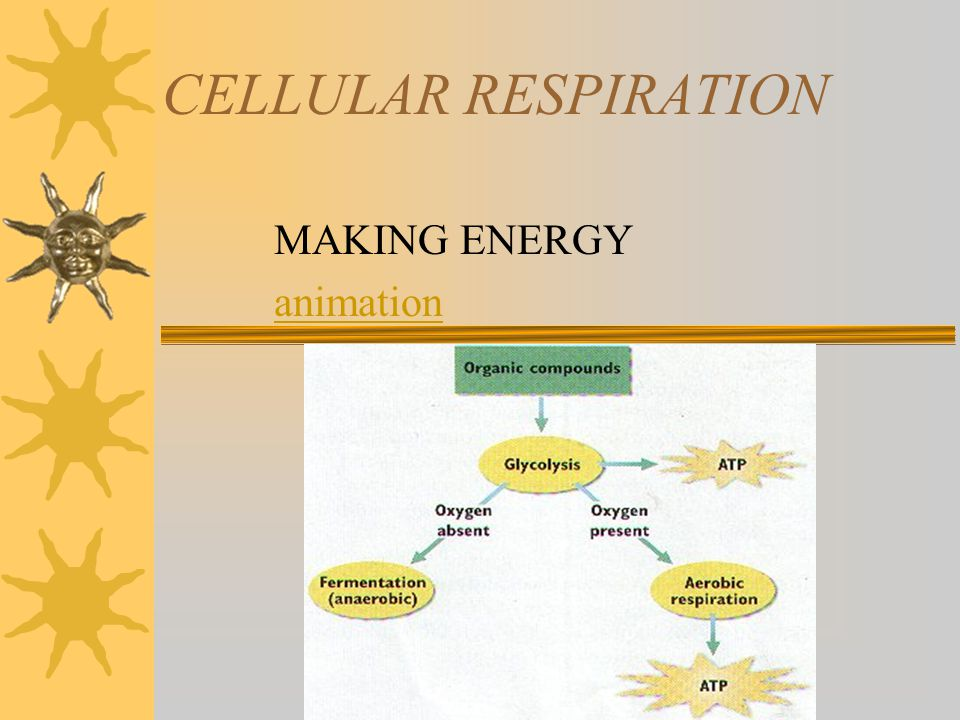 CELLULAR RESPIRATION MAKING ENERGY animation