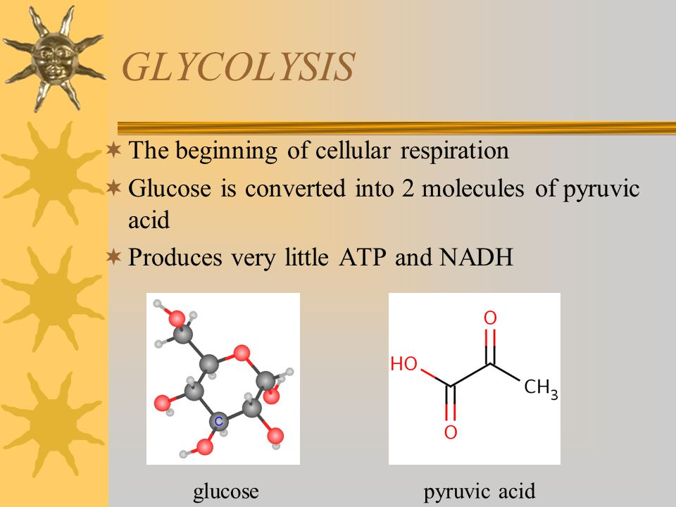GLYCOLYSIS  The beginning of cellular respiration  Glucose is converted into 2 molecules of pyruvic acid  Produces very little ATP and NADH glucose