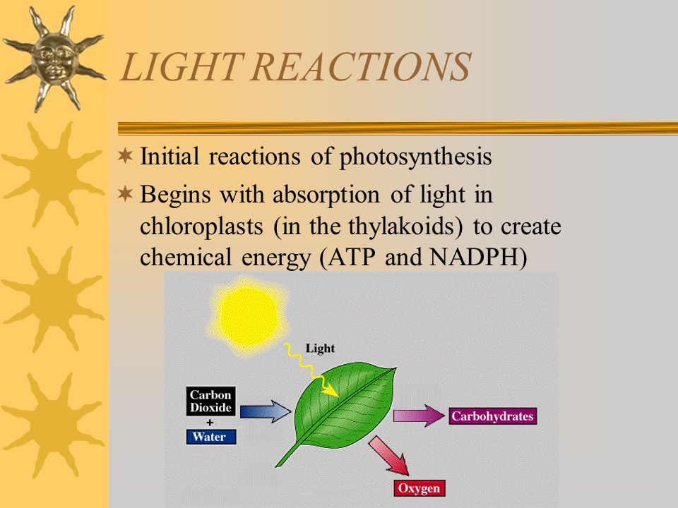 LIGHT REACTIONS  Initial reactions of photosynthesis  Begins with absorption of light in chloroplasts (in the thylakoids) to create chemical energy