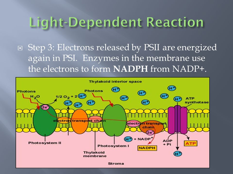  Step 3: Electrons released by PSII are energized again in PSI.