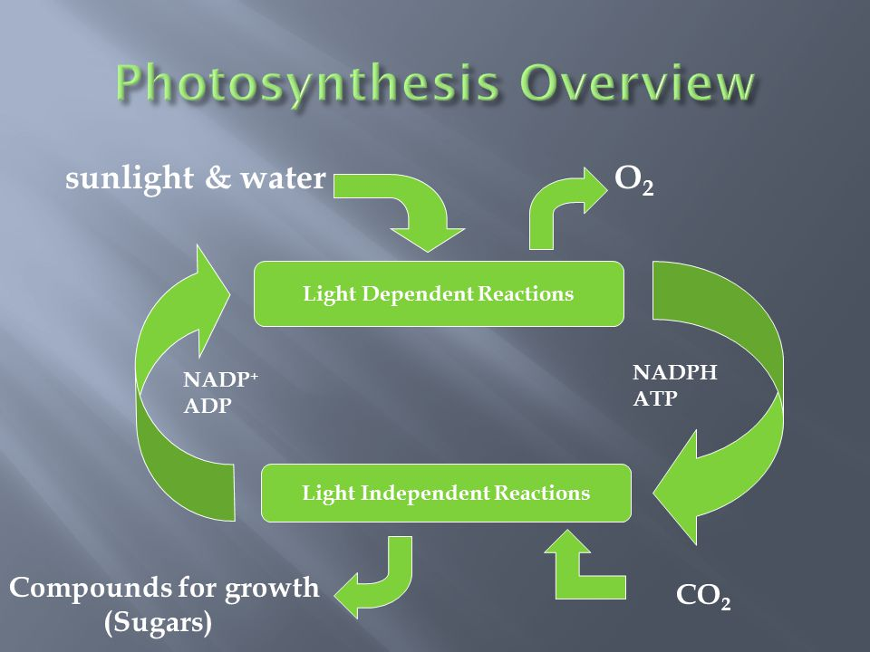 sunlight & water O 2 Light Dependent Reactions Light Independent Reactions NADP + ADP NADPH ATP Compounds for growth (Sugars) CO 2
