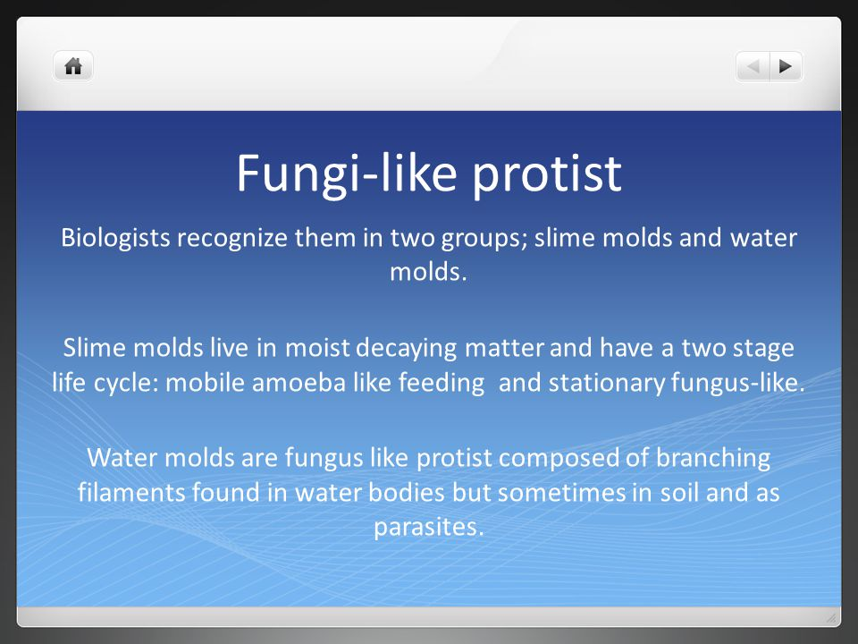 Fungi-like protist Biologists recognize them in two groups; slime molds and water molds. Slime molds live in moist decaying matter and have a two stag