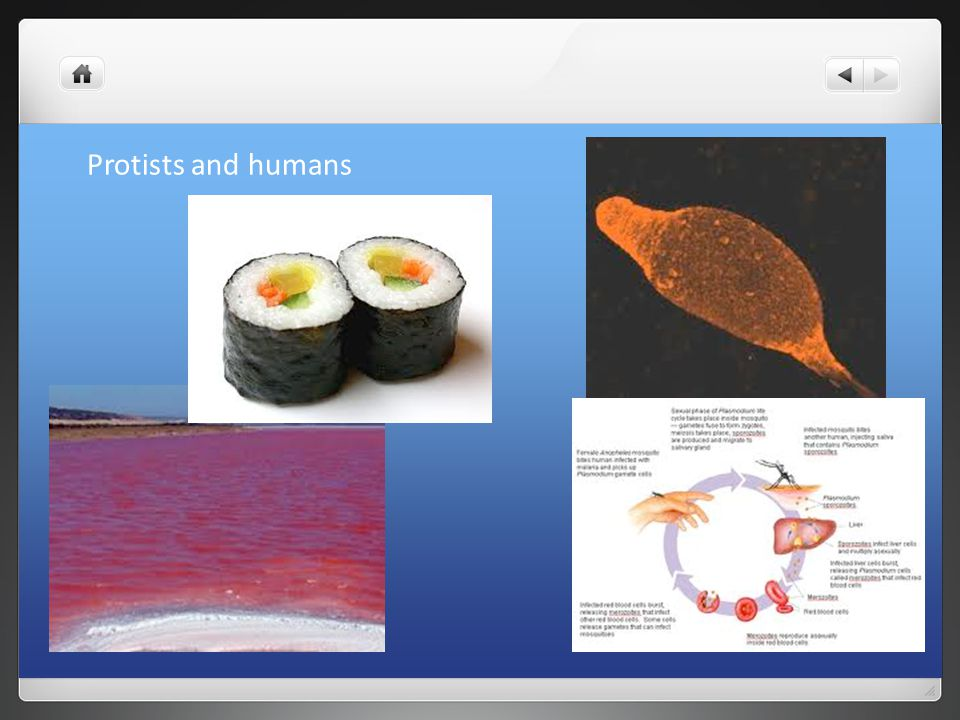 Protists and humans