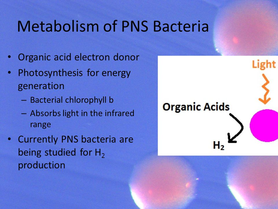 Metabolism of PNS Bacteria Organic acid electron donor Photosynthesis for energy generation – Bacterial chlorophyll b – Absorbs light in the infrared