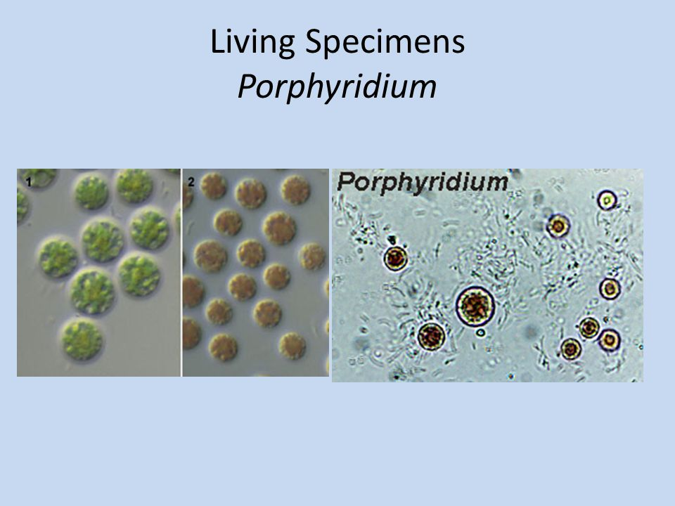 Living Specimens Porphyridium