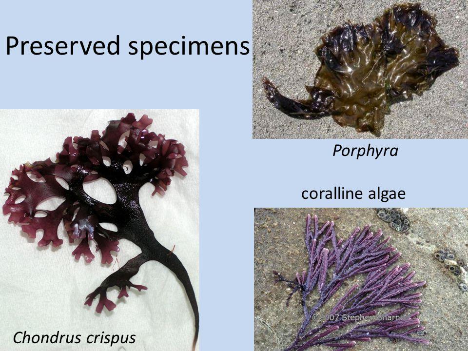 Preserved specimens Chondrus crispus Porphyra coralline algae