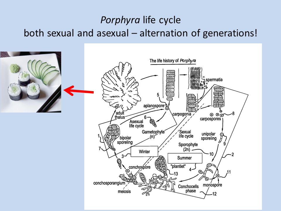 Porphyra life cycle both sexual and asexual – alternation of generations!
