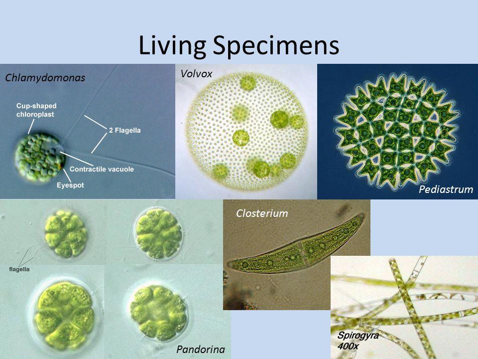 Living Specimens Chlamydomonas Pandorina Volvox Pediastrum Closterium